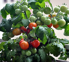 ORGANIC TINY TIM TOMATO seed (30ct) 2017  seed is selected and grown in the USA
