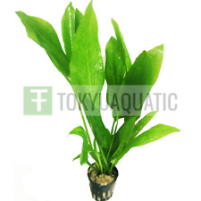 Amazon Sword Pot Echinodorus Bleheri Beginner Live Aquarium Plants Background