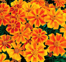 French Marigold Seed 50 Seeds Dense Flower Tagetes Patula Flower Garde Seed A021