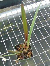 "Encyclia fowliei Bloom size 2"" pot Imported Species"