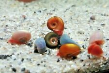 20+Young Multicolor Ramshorn Snails Live Freshwater Aquarium Puffer Turtle Food