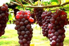 1 CONCORD / 1 VENUS COMBO - Seedless Grape Vine Plant  / Organic Grown