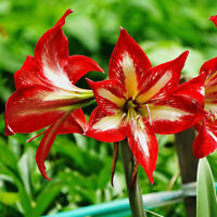 LOT 100pcs Mixed Color Amaryllis Seeds Barbados Lily, See flower U2P5 V1Y3