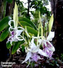 Dendrobium samurai species stratiotes X  antennatum  orchid plant. Sale!!!!