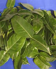 Large Fresh Organic Kaffir Lime Leaves 2 oz (50+ ct) Picked Prior To Shipping