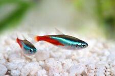 More details for neon cardinal tetra - peaceful vibrant colourful fresh water aquarium live fish