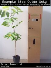 Brown Tamarind (Castanospora alphandii) Tree Plant