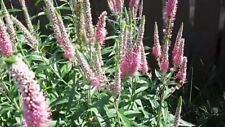 Veronica longifolia  'Eveline'-Pink flowers- 30+ fresh seeds