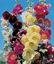 RARE! 11 FT TALL GIANT DANISH HOLLYHOCK  FLOWER SEEDS MIX 50 /  PERENNIAL