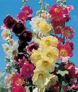 RARE! 11 FT TALL GIANT DANISH HOLLYHOCK  FLOWER SEEDS MIX 50+  /  PERENNIAL