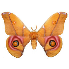 Real Antherina suraka Madagascar Bullseye Moth Fast From Usa, Large Butterfly