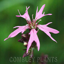RAGGED ROBIN - WILD FLOWER - 1000 SEEDS - (Lychnis flos-cuculi) wildflower seed