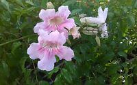 "15 Pink Trumpet Vine  Podranea  ricasoliana Unrooted Cuttings  9"" Foliage"