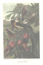 WEAVER Birds FULL Color Antique Art Print BEAUTIFUL!