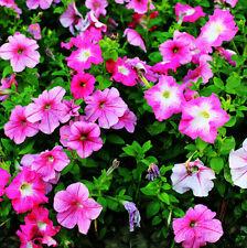 100 Colorful Petunia Seeds Petunia Hybrida Morning Glory Garden Flowers