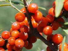 Sea-Buckthorn Seed Edible Alternative Medicine Salt Tolerant Hippophae rhamnoide