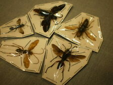 5 insects location data Wasp species1 3/4 inches A 1 Ageniella conflicta etc.