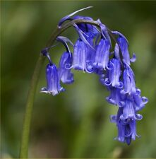 Fairy Flower Seeds x35 UK. Native Bluebells seeds Fairy Garden, Wild Flower