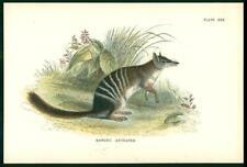 1896 Original Antique Colour Print - Banded Anteater (Ln62)