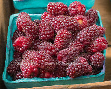 1 Tayberry Plant - Large, Sweet Fruit - Raspberry- Blackberry Cross- Live Potted