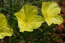 primrose, missouri, OZARK SUNDROP, yellow flower, 250 seeds, GroCo
