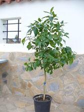 Blutorangenbaum, citrus sanguinelli, schöner mehr Jähriger Baum mit dickem Stamm