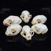 6pcs real Animal Skull specimen (Sent at random)