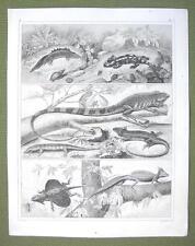 ANIMALS Amphibia Guana Flying Dragon Scink - 1844 SUPERB Antique Print Engraving