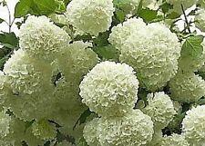 sehr seltener chinesischer  Schneeball Viburnum subalpinum