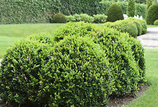 Buxus sempervirens 9cm Pot x 10 | Common Box | Hedging | Hardy Evergreen Shrub