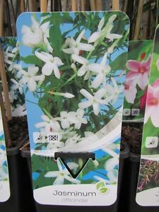 Jasminum officinale - weißer - echter Jasmin - Pflanze 20-40cm - Winterhart