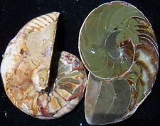 """3.5""""Split Rare Nautilus Freestanding Madagascar 1512"""