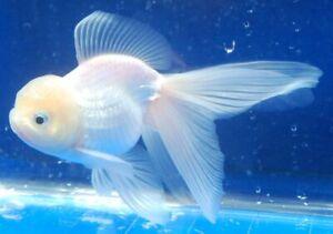 Live White Oranda Goldfish Medium size for fish tank
