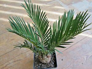 Cycas revoluta , Sukkulente Zimmer-Pflanze, Gasteria, Kaktus