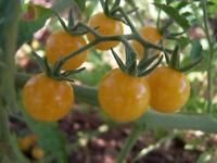 TOMATE weiße WILDTOMATE  aus Peru über 1000 Früchte, Topf, Kübel, Zimmer, Balkon