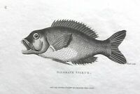 1803 Shaw SCARCE COPPER PLATE ENGRAVING Bilobate sparus EXCEPTIONAL Fish PRINT