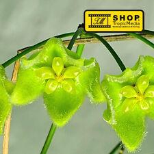 Hoya chlorantha var. chlorantha - 1 Steckling BEWURZELT ROOTED - Porzellanblume