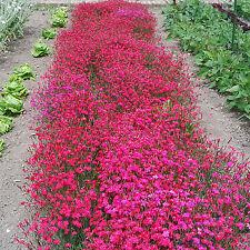 Graines de fleurs vivaces, OEILLET DELTOIDE