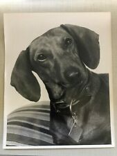 """Dachshund Dog Portrait Photograph, Black and White 8""""x10"""", 1960's Photo"""