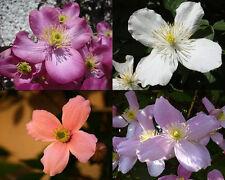 Blütenmeer - 10 Samen Clematis montana - Duft - Berg-Waldrebe - perfumed forms