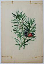 Superbe aquarelle originale PODOCARPUS MACROPHYLLA publiée Revue Horticole 1848