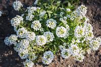 ** DUFTSTEINRICH exotische Pflanzen Samen Garten Sämereien Balkon Terrasse