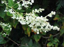 8 graines de Renouée de Chine(Fallopia Aubertii)G883 SILVER LACE VINE SEEDS SEMI