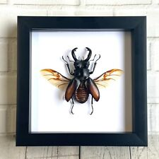 More details for fighting giant stag beetle (hexarthrius parryi) deep shadow box frame display