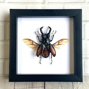 Fighting Giant Stag Beetle (Hexarthrius parryi) Deep Shadow Box Frame Display