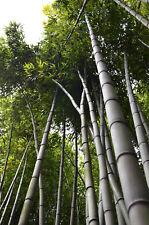 Bambusa bambos - Indian Thorny Bamboo - 25 Seeds