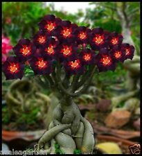 Rare BLACK ADENIUM OBESUM  Bonsai Plant HOME GARDEN 1 Live Plant