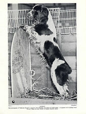 ENGLISH SPRINGER SPANIEL NAMED DOG AT CRUFTS OLD ORIGINAL PRINT PAGE FROM 1934