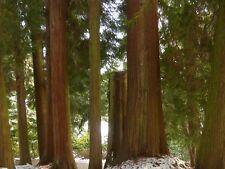 Western Red Cedar (Thuja Plicata) approx 60 seeds