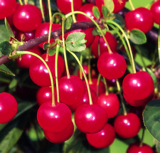 Cherry Tree Morello 9L Pot Eat Fresh Cooking Cherries Delicious 3 Years Old